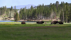 Stock Video Footage of Buffalo graze in the distance in Yellowstone National park.