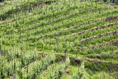 Stock Photo of vineyard