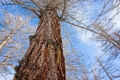 Larch trees winter Stock Photos