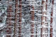 Stock Photo of snowed pine tree trunks