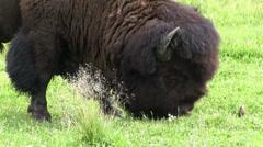 A bison forages in grasslands. Stock Footage