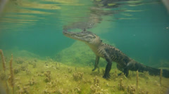 A dangerous shot approaching an alligator underwater. Stock Footage