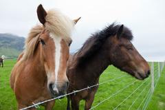 Stock Photo of chestnut icelandic horses