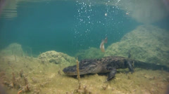 An alligator thrashes underwater and catches a fish. Stock Footage