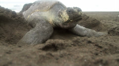A sea turtle digs in the sand while laying eggs. Stock Footage