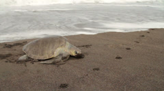 Stock Video Footage of A sea turtle struggles up the beach to lay eggs in sand.