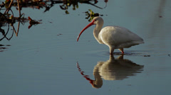 Ibis in water searching for food Stock Footage