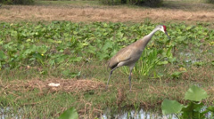 A sandhill crane calls out. Stock Footage