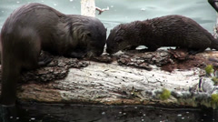Two otters play on a branch. - stock footage