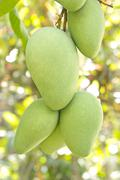 Closeup of mango on tree Stock Photos