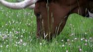 Stock Video Footage of A Texas longhorn cow grazes in a field.