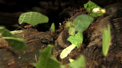 Leafcutter ants move leaves across a forest floor. Stock Footage