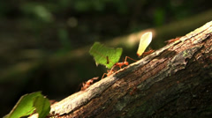 Leafcutter ants move leaves across a forest floor. - stock footage