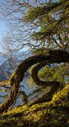Bent tree by the sea in southeast alaska on a sunny day. Stock Photos