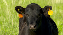 Black Angus cow head shot Stock Footage