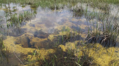 A nice pan up of the Everglades swamps in Florida. Stock Footage