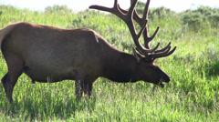 A bull elk grazes in a field. - stock footage