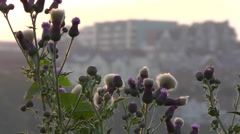 Thistles in Newquay, Cornwall, England Stock Footage