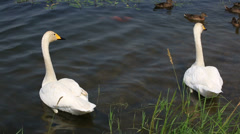 Pair of beautiful white swans swimming in a pond. Stock Footage