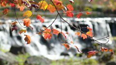 Red leaves falls Stock Footage