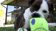 A dog plays with a squeaky toy. Stock Footage