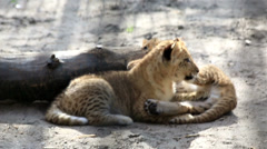 Two funny little liger cub. Stock Footage