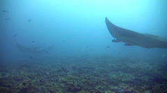 Giant manta ray (Manta birostris) swimming on top of each other Stock Footage