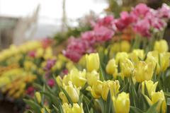Colorful tulips in garden Stock Photos