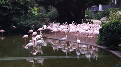 Flamingo pink birds in the park Stock Footage