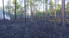 Panning after a prescribed burn in a Longleaf Pine forest Stock Footage