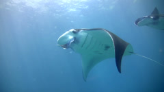 Bunch of giant manta ray (Manta birostris) swimming in circle Stock Footage