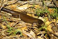 Stock Photo of australian king's skink