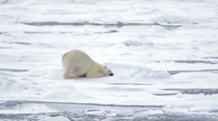 Polar bear rolling in the snow near Torelleneset on the east side of Hinlopen - stock footage