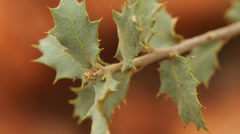 Desert live oak quercus turbinella macro Stock Footage