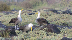 A pair of Waved albatross bill-circling during a courtship ritual and is limited Stock Footage