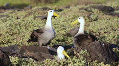 A pair of Waved albatross bill-circling during a courtship ritual and is limited - stock footage