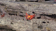 Sally Lightfoot Crabs at Puerto Egas on Santiago Island in the Galapagos Islands - stock footage