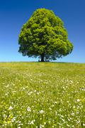 single linden tree - stock photo
