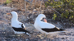 Pair of a Nazca booby preening each other at Punta Suarez on Espanola in the Stock Footage