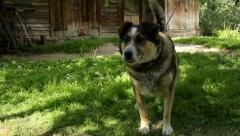 Happy adult dog in the countryside on summer day Stock Footage