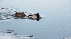 Ducks in cold river. Stock Footage