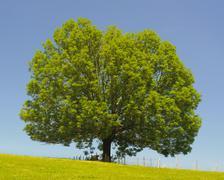 single ash tree - stock photo