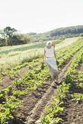 a girl in a striped skirt harvesting beets, fresh vegetables from a field of  - stock photo