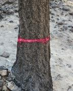 trees burned by forest fire, marked for cutting (from the taylor bridge fire) - stock photo