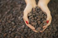 Stock Photo of organic chocolate manufacturing. a person holding a handful of cocoa beans, t
