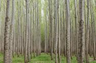 Stock Photo of poplar tree plantation, tree nursery growing tall straight trees with white b
