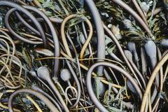 Pile of bull kelp seaweed washed up on beach on rialto beach, usa Stock Photos