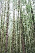 sitka spruce and western hemlock trees in lush, temperate rainforest - stock photo