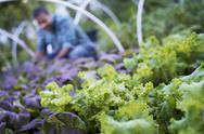 Stock Photo of a farmer working among salad plants, lettuce and salad leaf vegetables, in an