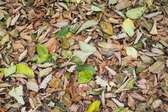 alder leaves on the ground in the fall, discovery park, seattle< washington. - stock photo